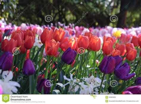 tulips growing outside stock photo image 50963630