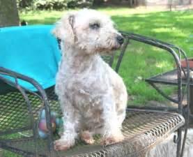 Bichon frise poodle mix top dog directory
