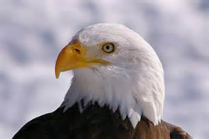 bald eagle beautiful birds screenshot