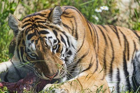 libro minicuentos de tigres y presas de los tigres y alimentaci 243 n im 225 genes y fotos