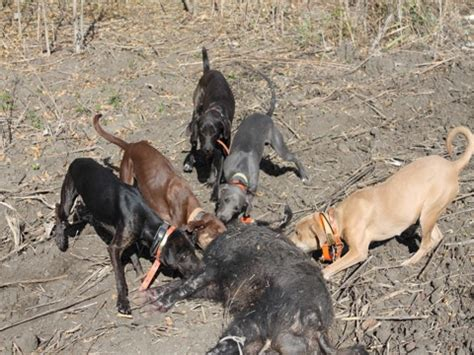 hog dogs for sale bay strike dogs for sale pics