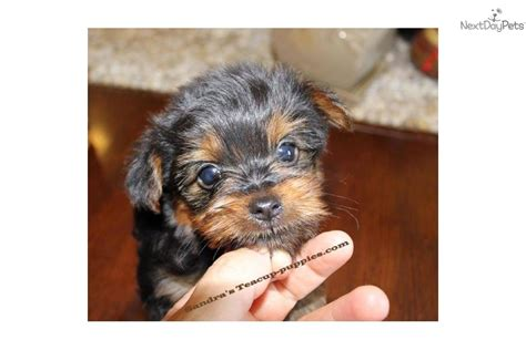 craigslist teacup puppies yorkie puppies for sale in craigslist pomsky picture picture breeds picture