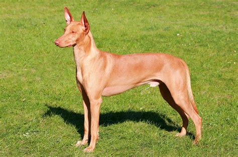 pharaoh hound puppies pharaoh hound pharaoh info temperament puppies pictures