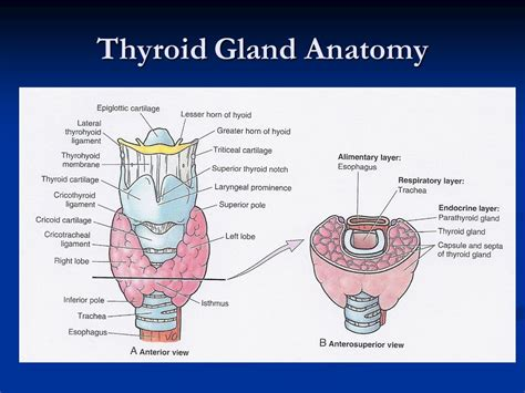 thyroid gland diagram diagram of thyroid in neck image collections how to