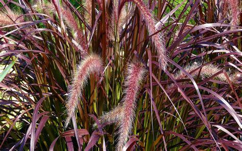 buy purple fountain grass pennisetum rubrum for sale