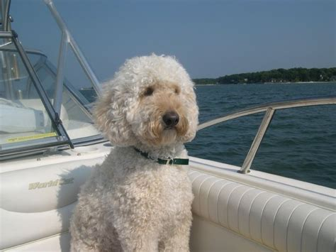 labradoodle grooming cuts picture 17 best images about projects grooming toby on pinterest