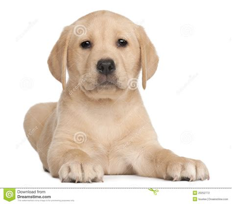 7 week puppy labrador puppy 7 weeks in front of white stock photo image of pedigreed