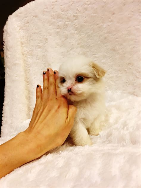 teacup puppies for sale los angeles tiny teacup maltipoo puppy for sale in los angeles california iheartteacups