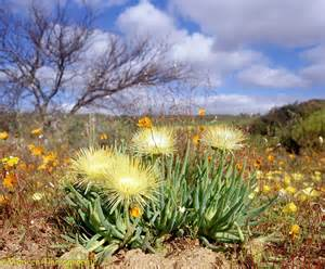desert flowers desert flowers photo wp03689