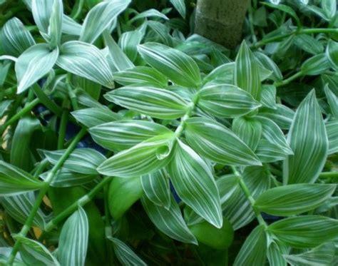 Tanaman Hias Tradescantia Silver tanaman tradescantia fluminensis quicksilver jual