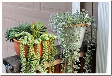 draping plants 17 best images about weeping succulents on pinterest