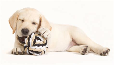 best puppy toys best toys for large breeds