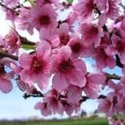 fiore di pesco significato significato fiori di pesco linguaggio dei fiori