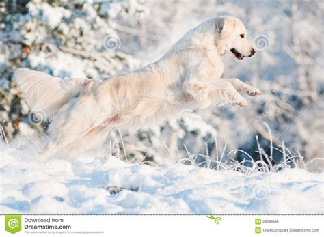 golden retriever in the snow golden retriever jumping in the snow stock photo image 28093598