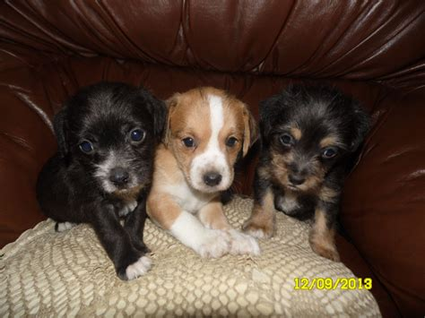 jackapoo puppies for sale a poo quotes