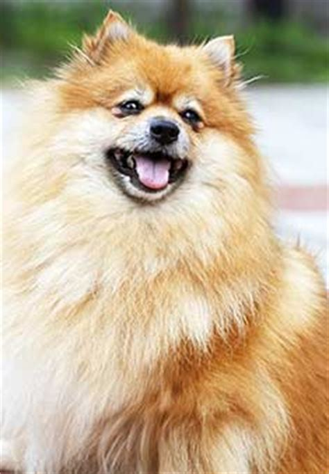 pomeranian health problems collapsing trachea pomeranian breed information