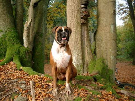 german boxer puppies boxer german boxer deutscher boxer breeds picture