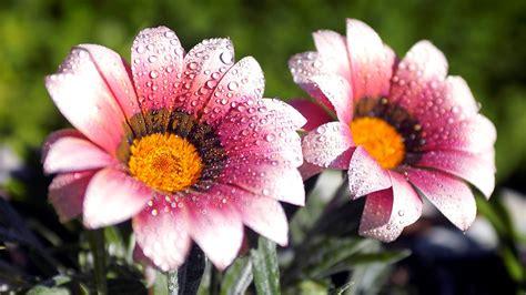 blooms hd wallpapers beautiful amazing flower water drops hd wallpaper