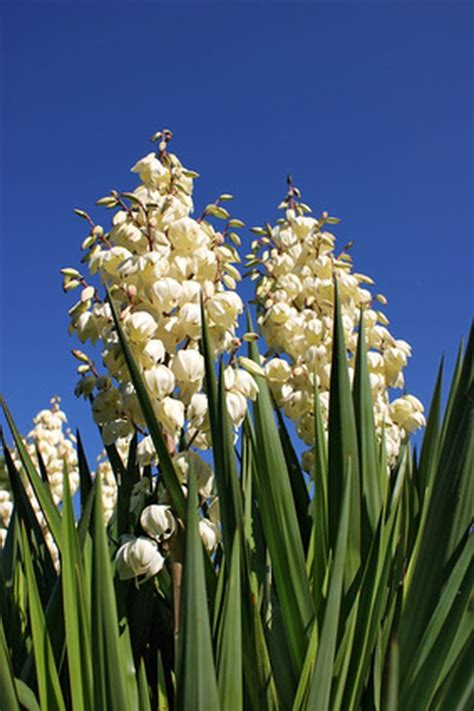 care   outdoor yucca plant hunker