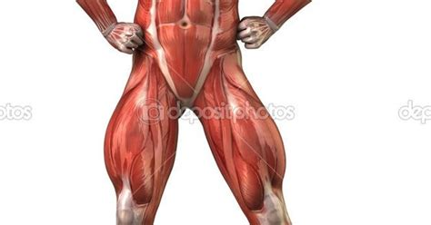 muscular system diagram human muscular system diagram unlabeled search