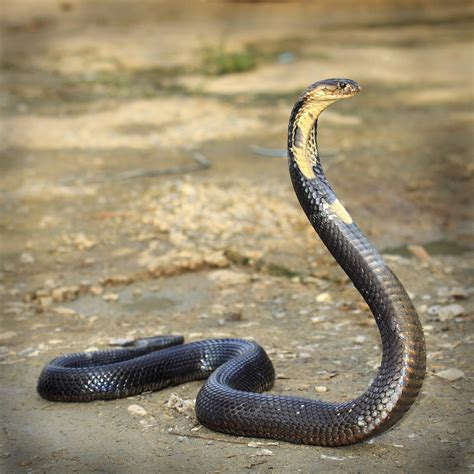 king cobra images habitat and other facts about the majestic and scary king