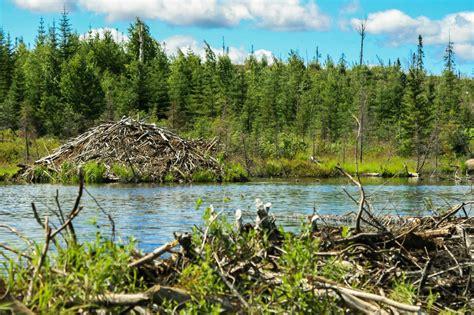 hutte castor le castor du canada qu 233 bec le b 251 cheron de la faune