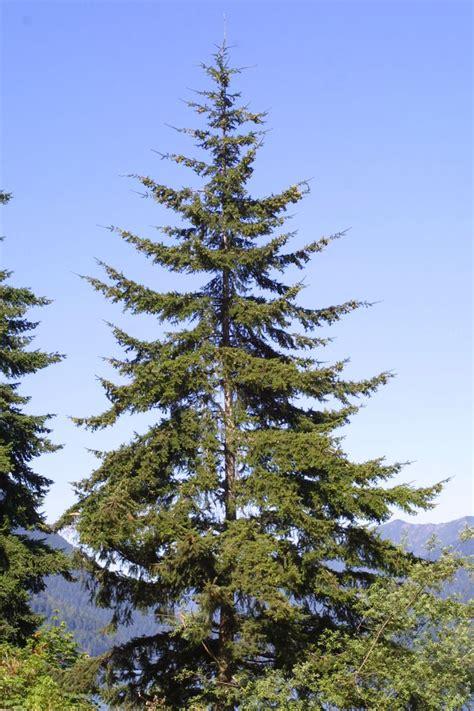 25 best ideas about douglas fir tree on pinterest pine