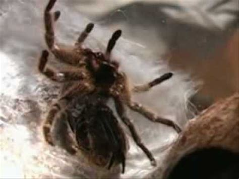 Do Crabs Shed Their Skin by Spider Molt