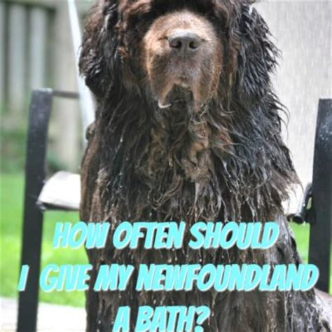 how often should you give your a bath owners how often you give the a bath breeds picture