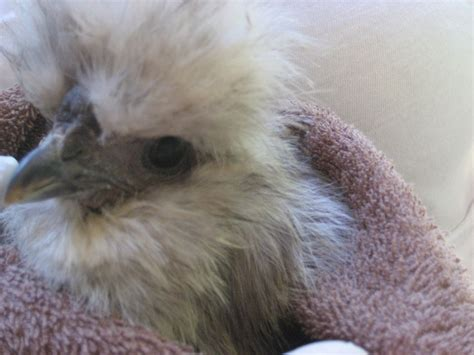eye problem with silkie backyard chickens