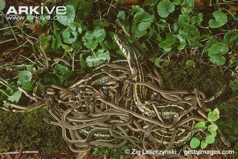 Garden Snake Island Follow The Piper Garter Snakes