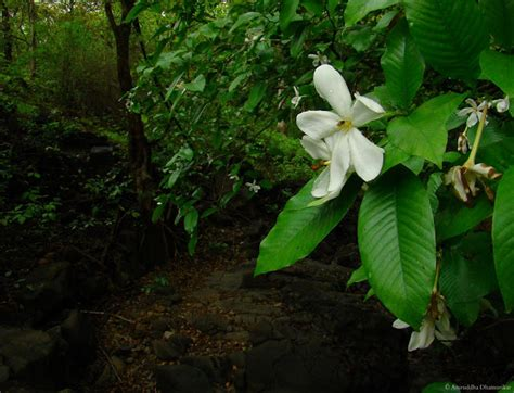 Gardenia Gummifera Sahyadrica Tracing Monsoon Part I Following The Plants