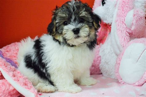 tri colored havanese royal flush havanese puppies for sale tri colored 2 ready now