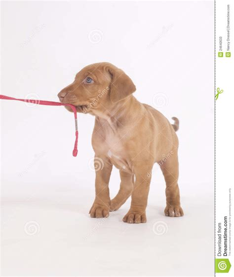 5 week puppy rhodesian ridgeback puppy 5 weeks grimace stock photography cartoondealer
