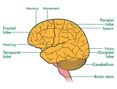 brain lobes diagram frontal lobe functions of brain images
