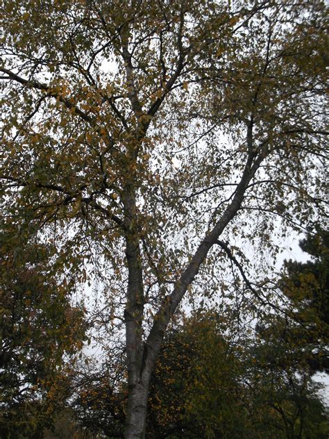 Trees That Shed Their Leaves In Winter by Deciduous And Evergreen Trees Tiverton Primary School