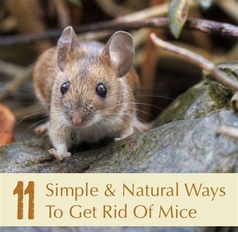 How To Get Rid Of Mice In Ceiling by Best Way To Get Rid Of Mice In Kitchen 28 Images 8