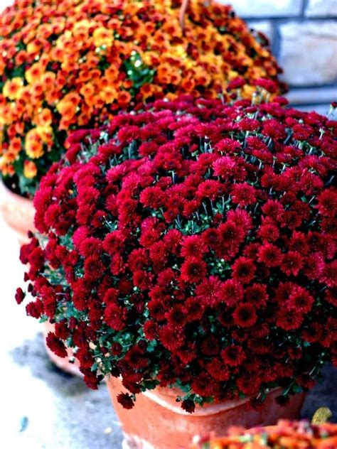 can fall mums survive frost 25 best ideas about fall mums on mums in pumpkins apple baskets and autumn wedding
