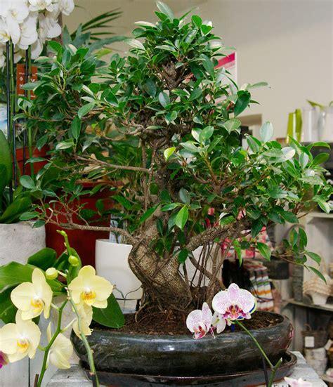 Bonsai Ficus Kaufen by Bonsai Kaufen In Wien Flowercompany