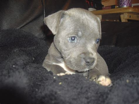 american staffordshire terrier puppies for sale near me 16 best images about staffordshire bull terrier dogs on dogs