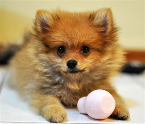 what country are pomeranians from pomeranian my rocks