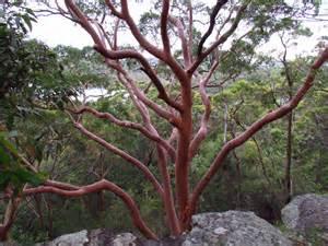 sydney trees trees sydney 28 images sydney australia royal botanic