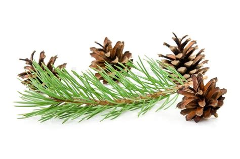 cones and green pine branch on a white background stock