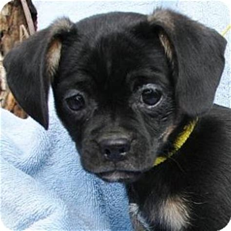 pug puppies arizona lucille adopted puppy gilbert az pug terrier unknown type small mix