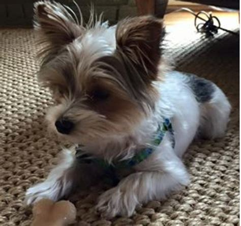12 pound yorkie 4 pound yorkie snatched during mountain brook burglary found safe al