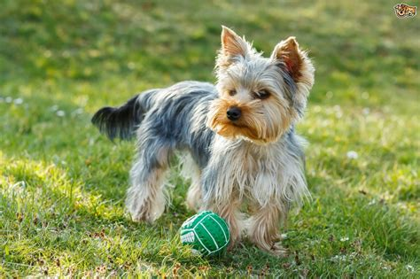 yorkie breeds types terrier small breed dogs noten animals