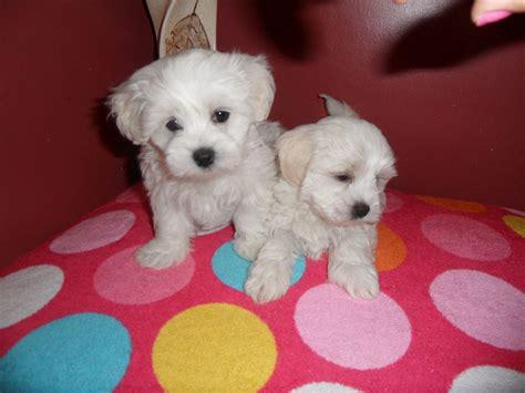 maltese puppies for sale mn chihuahua maltese mix puppies picture