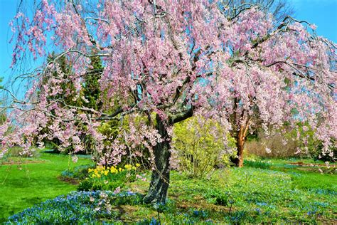 cherry tree weeping weeping cherry tree