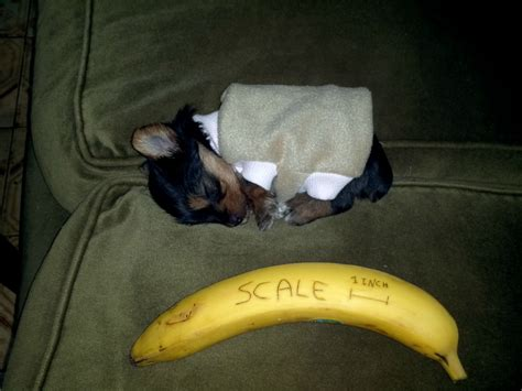 a tiny banana imgur tiny sleeping puppy aww