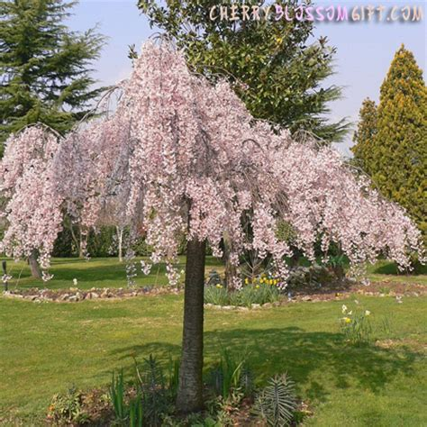 live weeping japanese cherry tree japanese cherry blossom trees the cherry blossom gift shop